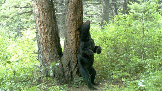 Black Bear scratching its back against a tree (photo courtesy: Parks Canada)