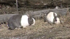 Canmore rabbits