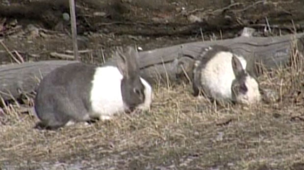 Local rabbit sanctuaries are overcapacity prompting the Town of Canmore to kill the rabbits they trap