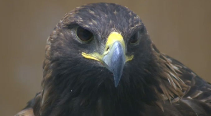 A Golden Eagle found near Canmore is expected to make a full recovery after suffering lead poisoning.  According to the Alberta Institute for Wilderness Conservation, birds of prey are susceptible to the poisoning at this time of year
