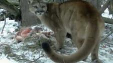 Cougars, camera, Banff National Park,