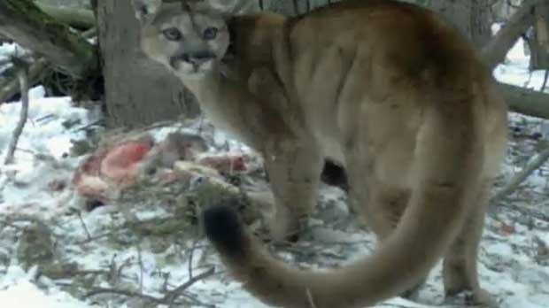 The cougars were feeding on a deer near the Banff town site.