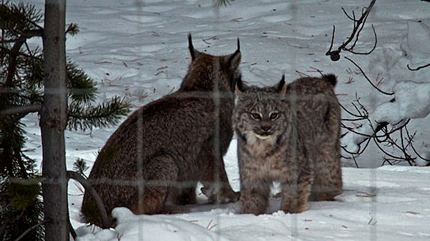 A lynx and her kitten were caught on camera roaming through Banff National Park. (Parks Canada/Alex Taylor)