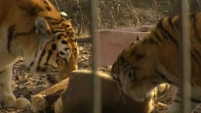 Tigers enjoy new exhibit