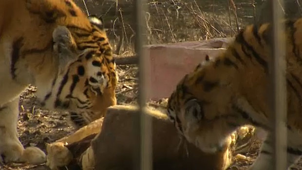 The tigers at the Calgary Zoo will eventually be moving to a new exhibit once Prehistoric Park is retired as part of the zoo's 20 year plan.