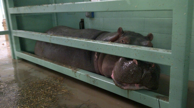 Lobi, a six and a half year old hippopotamus, in a holding pen following an enclosure escape at the Calgary Zoo (photo courtesy: Calgary Zoo)
