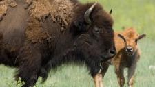Wild plains bison reintroduction