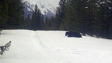 Grizzly spotted in Banff National Park