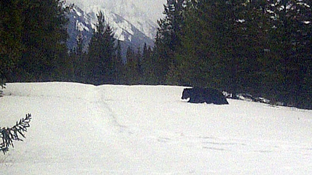 Mike Grande with Parks Canada took this photo of the first grizzly bear of the year spotted in Banff National Park over the weekend.