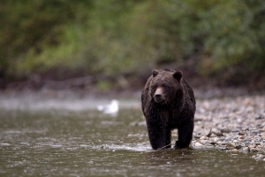 A grizzly bear fishes for salmon along the Atnarko River in Tweedsmuir Provincial Park near Bella Coola, B.C. Saturday, Sept 11, 2010. (Jonathan Hayward / THE CANADIAN PRESS)