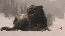 Cazz is a natural snow dog and is being trained to search and rescue avalanche victims.