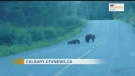 Bear family crossing the road in Waterton