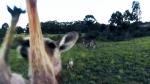 Canada AM: Kangaroo takes down drone