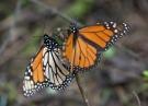 Monarch butterflies perch on a twig at the Piedra Herrada sanctuary, near Valle del Bravo, Mexico on Jan. 4, 2015. (AP / Rebecca Blackwell)