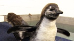 Young penguins take their first swim
