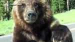 CTV News Channel: Close encounter with a grizzly
