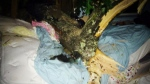 CTV News Channel: Tree pins woman in her bed