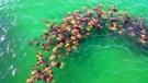 Extended: Flock of stingrays swarm pier