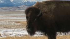 The Revenant - John Scott Productions bison