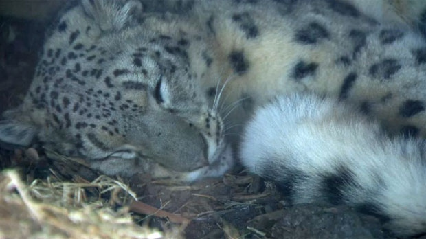 Leika, an 18-month-old snow leopard, is now on display at the Calgary Zoo