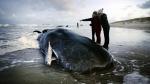 A beached sperm whale in Texel, Netherlands, Jan. 13, 2016. (REMKO DE WAAL / ANP / AFP)