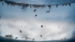 Aedes aegypti mosquito pupas float inside a mosquito cage at a laboratory in Cucuta, Colombia, Thursday, Feb. 11, 2016. (AP Photo / Ricardo Mazalan)