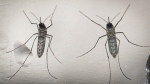 A photo made available 15 February 2016 dated shows a mosquito 'Aedes aegypti', that transmit the Zika virus, in a laboratory in San Salvador, El Salvador, on 07 February 2016. EPA/OSCAR RIVERA