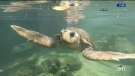 Injured 200-lb turtle with pneumonia rescued from