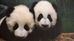 Photograph of panda cubs on display during Thursday's funding announcement at the Calgary Zoo