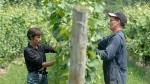 Featherstone Estate Winery owner Louise Engel (left) and senior winemaker David Johnson tuck vines on Wednesday July 16, 2008 in Vineland, Ont. (THE CANADIAN PRESS / Sheryl Nadler)
