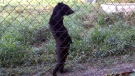 Is this real? Bear walks like a human in Laos