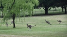 Kangaroos are seen on the grounds of Government House, Canberra, Australia on Nov. 11 2015. (EPA / Mark Graham)