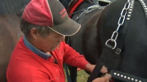 Kevin Graham of Double T Percherons prepares Jack and Cap on Saturday morning near Conrich