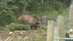 Bear jams causing concern
