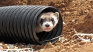 This Oct. 1, 2014, file photo shows a black-footed ferret peeking out of a tube after being brought to a ranch near Williams, Ariz. (AP / Felicia Fonseca, File)