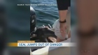 Seal uses boat to escape whales