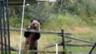 The bears were passing through the farm yard when they noticed the pet ducks in a cage.