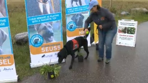 Dogs sniffing out invasive weeds