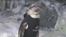 CTV Montreal: Penguins wetsuit
