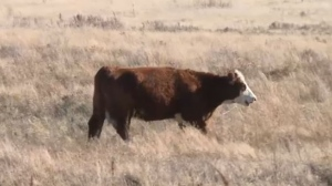 Beef producers are anxiously awaiting details on the help they will get from government.