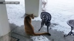 Cougar caught on camera