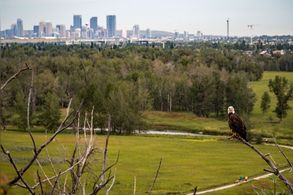 McKenzie Lake, bald eagle, Calgary