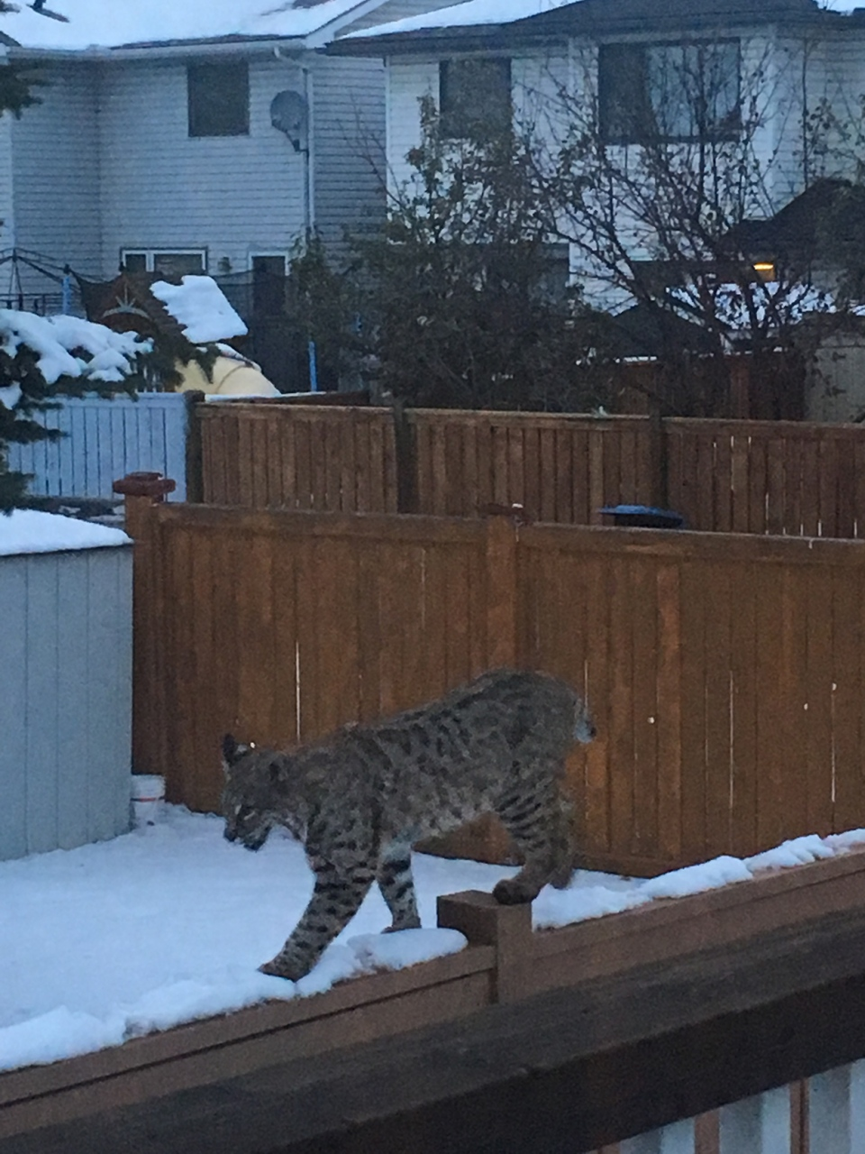 Bobcat. Hidden Valley, Calgary, Susan