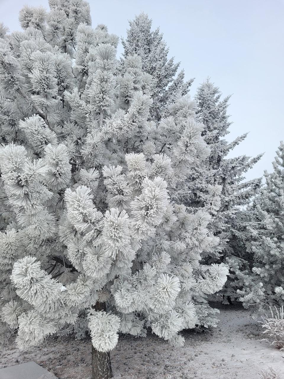 hoar frost, Ken, Olds, Alberta
