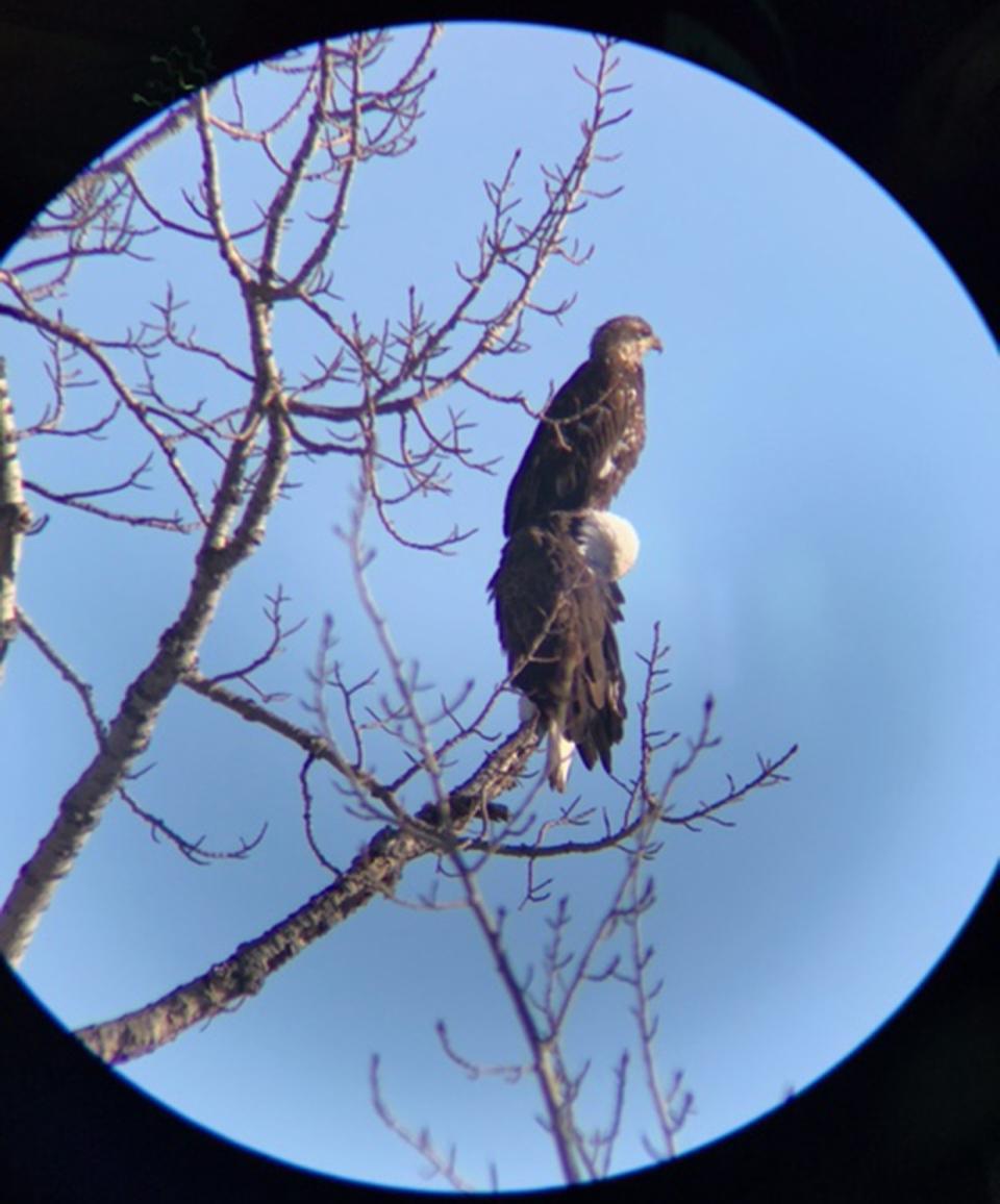 Eagle, eaglet, Turner Valley, scope