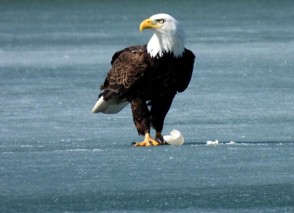 bald eagle, Roy, Lake Bonaventure, Calgary