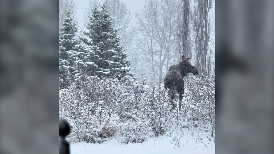 Calgary moose snow