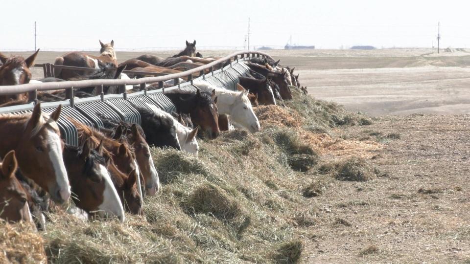 Rodeo horses, horses