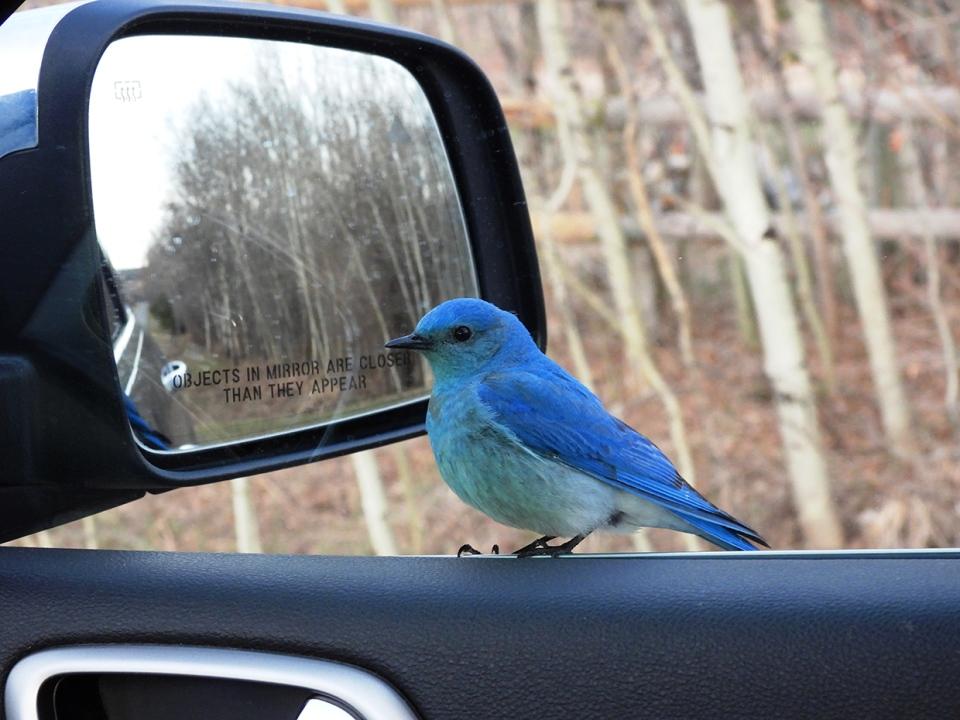 bluebird, window, Roy, southern Alberta