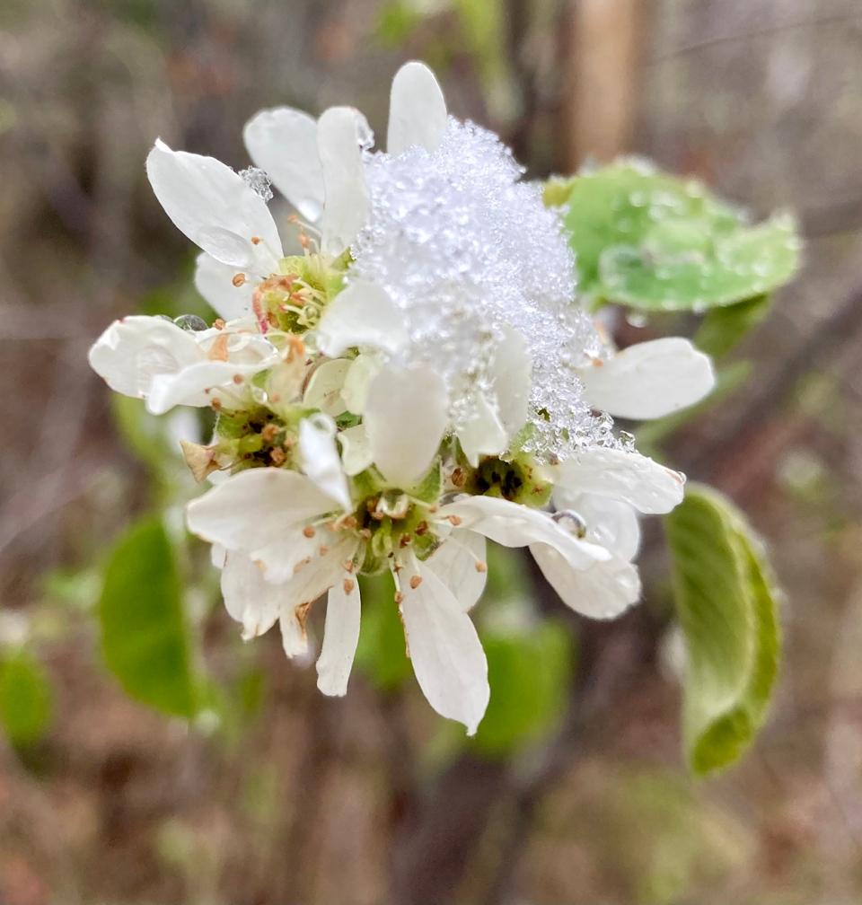 Saskatoon berry blossom, Laura